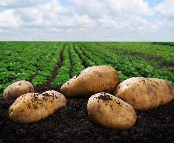 Цветной картофель может предотвратить рак