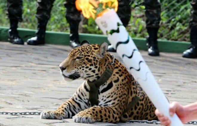 В Бразилии застрелили «олимпийского» ягуара