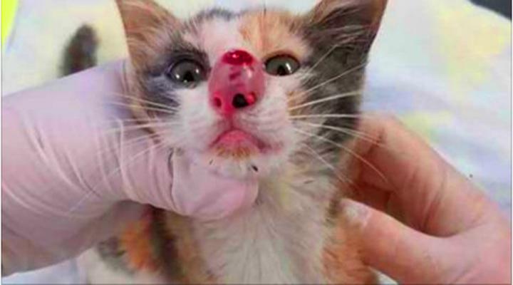 Ветеринар вытащил из носа котенка нечто гигантское. От этого чуть не вырвало.
