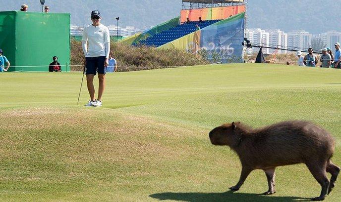 Олимпиада-2016: Гольфистам в Рио мешают выступать крокодилы и капибары