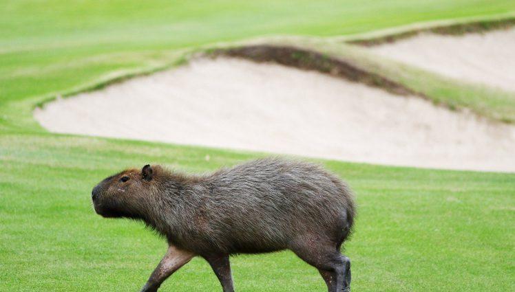 Капибары и крокодилы стали участниками гольф-турнира в Рио