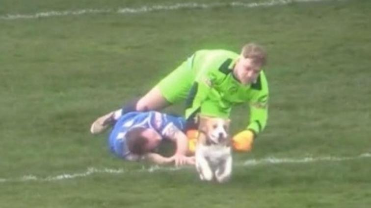 В Англии пес на шесть минут прервал матч, убегая от преследования